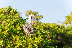 Brown Pelican on the tree in Galapagos Islands Stock Images