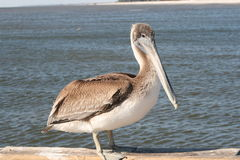 Brown Pelican. He wanted to be friendly but his level of trust was still a little low Stock Photo