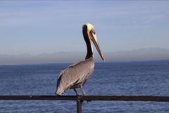 Brown Pelican standing on railing at ocean stock image
