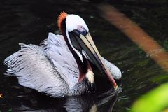 Brown Pelican in the Water Royalty Free Stock Photo