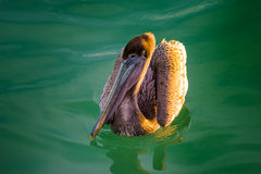 Brown Pelican in the water Royalty Free Stock Image