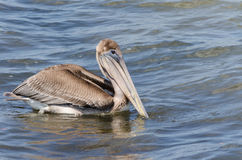 A Brown Pelican In the Water Stock Images
