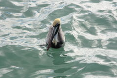 Brown Pelican on Water 2. Pelican at rest floating on water Royalty Free Stock Photos