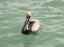 Brown Pelican on Water 4. Pelican at rest floating on water Royalty Free Stock Image