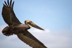 Brown Pelican wings spread flying in sky Stock Images