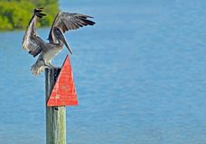Brown pelican with Wings Spread Standing on Channel Marker royalty free stock images