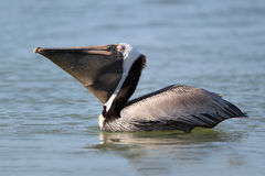 Brown Pelican With Pouch Of Beak Extended Stock Photo