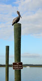Brown pelican on wooden post Royalty Free Stock Image
