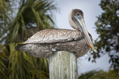 Brown Pelican on a wooden post birds of florida Stock Image