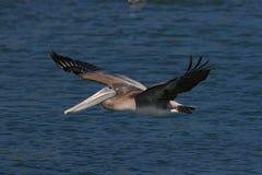 Free Brown Pelican &x28;Pelecanus Occidentalis&x29; California,USA Royalty Free Stock Photos - 162160558