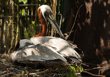 Brown pelicans Royalty Free Stock Images