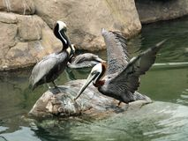 Brown pelicans. In Oceanographic Museum of Valencia (Spain royalty free stock photos
