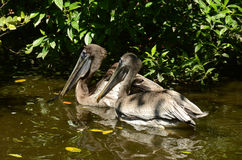 Brown pelicans Stock Image
