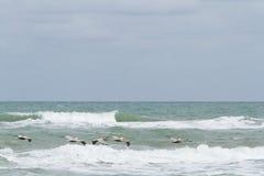 Brown pelicans Stock Photos