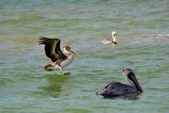 Brown Pelicans. Endangered Brown Pelican Latin name Pelecanus occidentalis swimming Royalty Free Stock Photo
