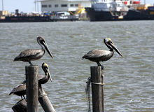 Brown Pelicans Stock Image