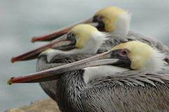 Brown pelicans. A common sight along the California coast Royalty Free Stock Image