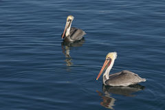 Brown Pelicans on  blue reflective water Royalty Free Stock Images