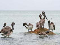 Brown Pelicans of Clearwater,Florida. Group of Brown Pelicans standing at Clearwater Beach in Florida stock photos