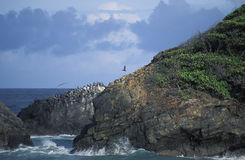 Brown pelicans' colony on cliffs, Trinidad. A colony of brown pelicans (Pelecanus occidentalis) at Galera Point, the north-eastern end of Trinidad, West Indies Stock Image