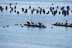 Brown pelicans and cormorants Royalty Free Stock Images