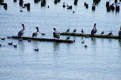 Brown pelicans and cormorants Stock Images