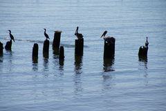 Brown pelicans and cormorants Royalty Free Stock Photo