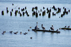 Brown pelicans and cormorants Royalty Free Stock Photos