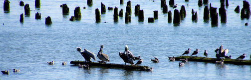 Brown pelicans and cormorants Stock Photography