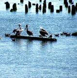 Brown pelicans and cormorants Stock Photos