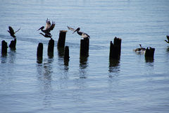 Brown pelicans and cormorants Royalty Free Stock Image