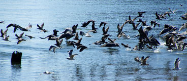 Brown pelicans and cormorants taking flight Royalty Free Stock Photo
