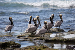 Brown pelicans in Costa Rica. Brown pelicans (pelecanus occidentalis) sitting by the edge of the sea royalty free stock images