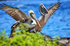 Brown pelicans on Espanola Island, Galapagos National park, Ecuador. Brown pelicans (Pelecanus occidentalis) on Espanola Island, Galapagos National stock images