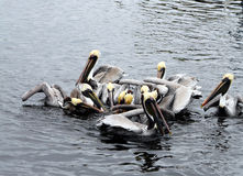 Brown Pelicans Feeding Frenzy Stock Image