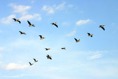 Brown pelicans in flight. Brown pelicans flying against a blue sky royalty free stock images