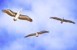 Brown pelicans in flight. Underside of three brown pelicans in flight with blue sky and cloudscape background Stock Images