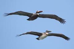 Brown Pelicans In Flight Stock Image