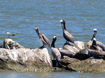 Brown Pelicans. A flock of brown pelicans on the rocks near Dauphin Island, Alabama Royalty Free Stock Images
