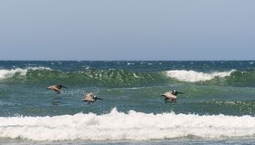 Brown Pelican`s Fishing sea swells. Brown Pelicans fly just over the top of the ocean swells looking for fish to dive for Royalty Free Stock Photo
