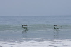 Brown Pelicans flying along wave Royalty Free Stock Image