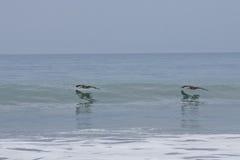 Brown Pelicans flying along wave. Pair of Brown Pelicans flying over waves in ocean, Pacific, Ecuador Royalty Free Stock Image