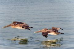 Brown Pelicans Flying Close to Water Royalty Free Stock Image