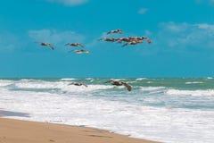 Brown pelicans flying over the Atlantic ocean. stock image