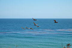 Brown pelicans flying over the ocean Stock Photo