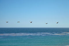 Brown pelicans flying over the ocean Stock Photography
