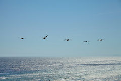 Brown pelicans flying over the ocean Royalty Free Stock Photography
