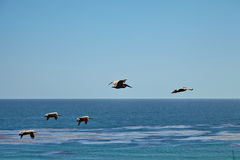 Brown pelicans flying over the ocean Stock Photos