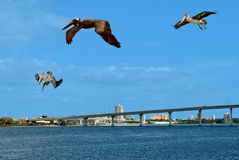Brown pelicans flying over Sand Key in Florida Royalty Free Stock Image
