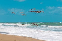 Brown Pelicans Flying Over The Atlantic Ocean. Stock Image